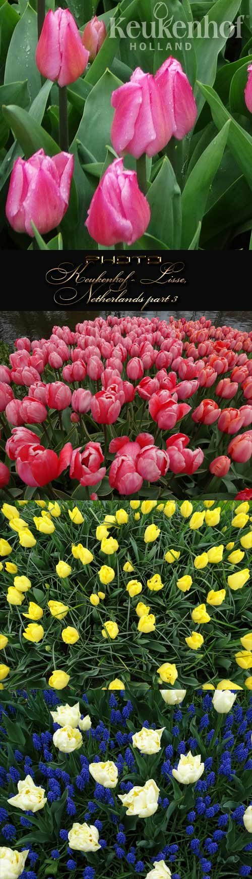 Keukenhof - Lisse, Netherlands part 3