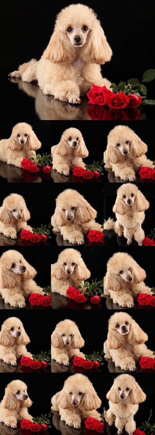 Cute puppy poodle and red roses