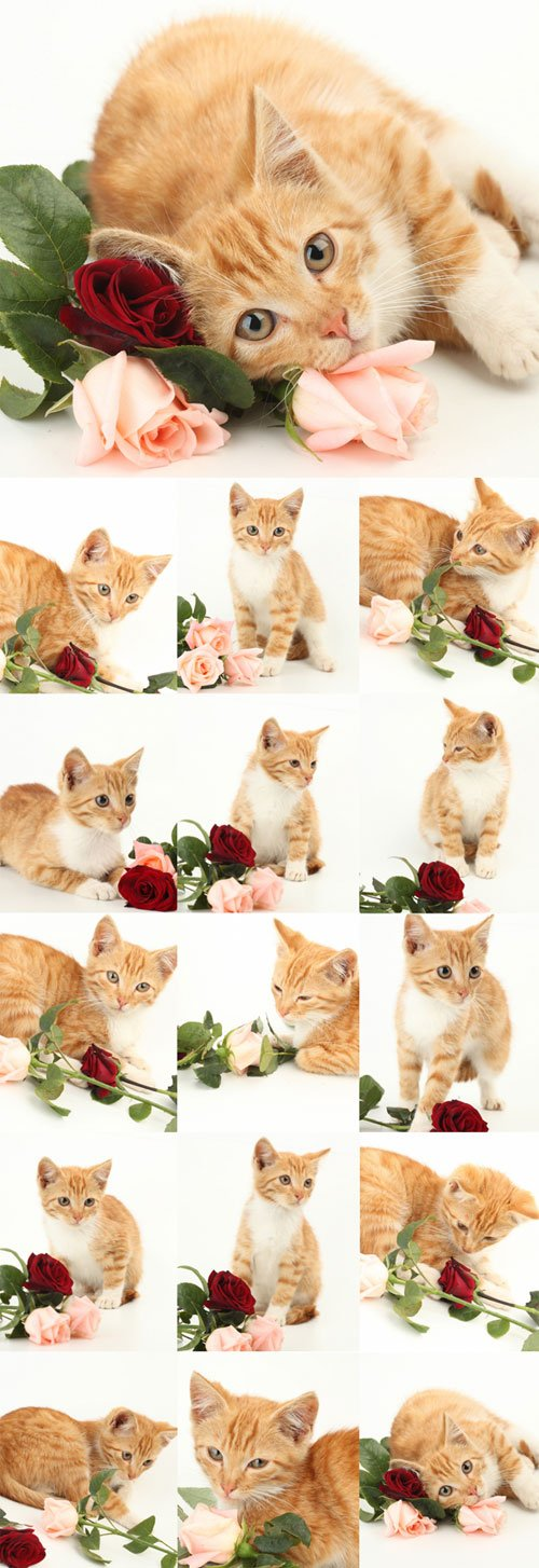 Cute ginger kitten with roses
