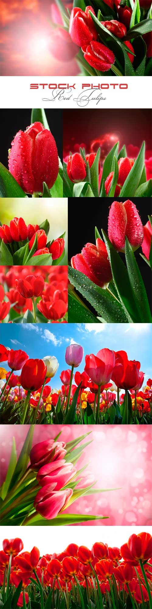 Red tulips raster graphics
