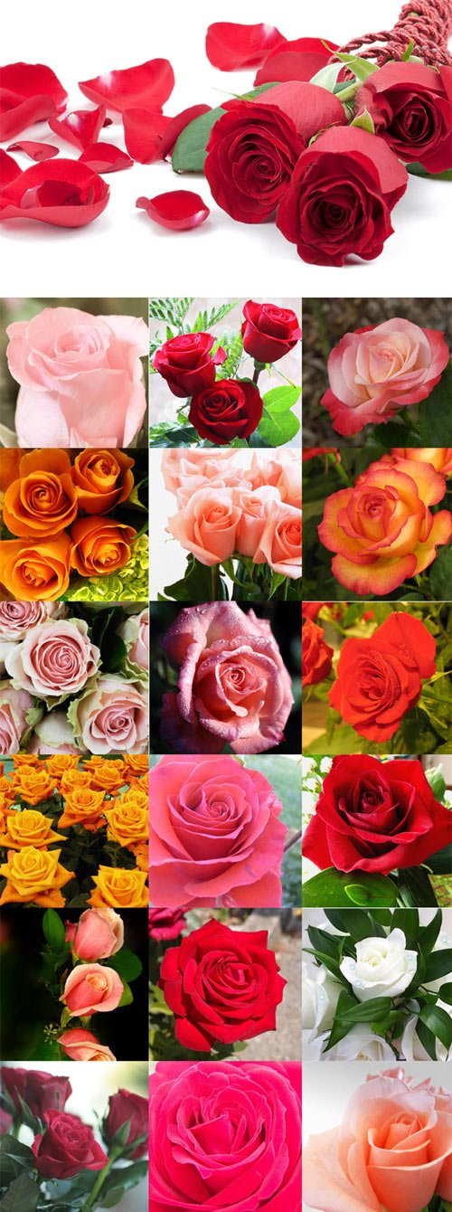 Beautiful roses of different colors Raster Graphics