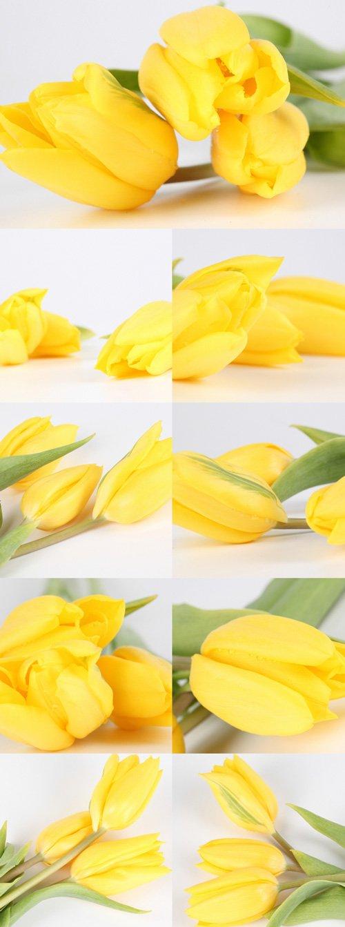 Gentle yellow tulips bitmap