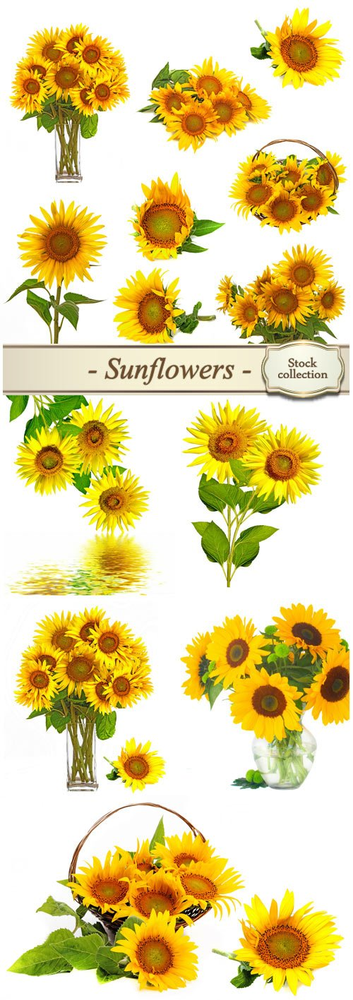 Sunflowers, flowers in vases - Stock photo