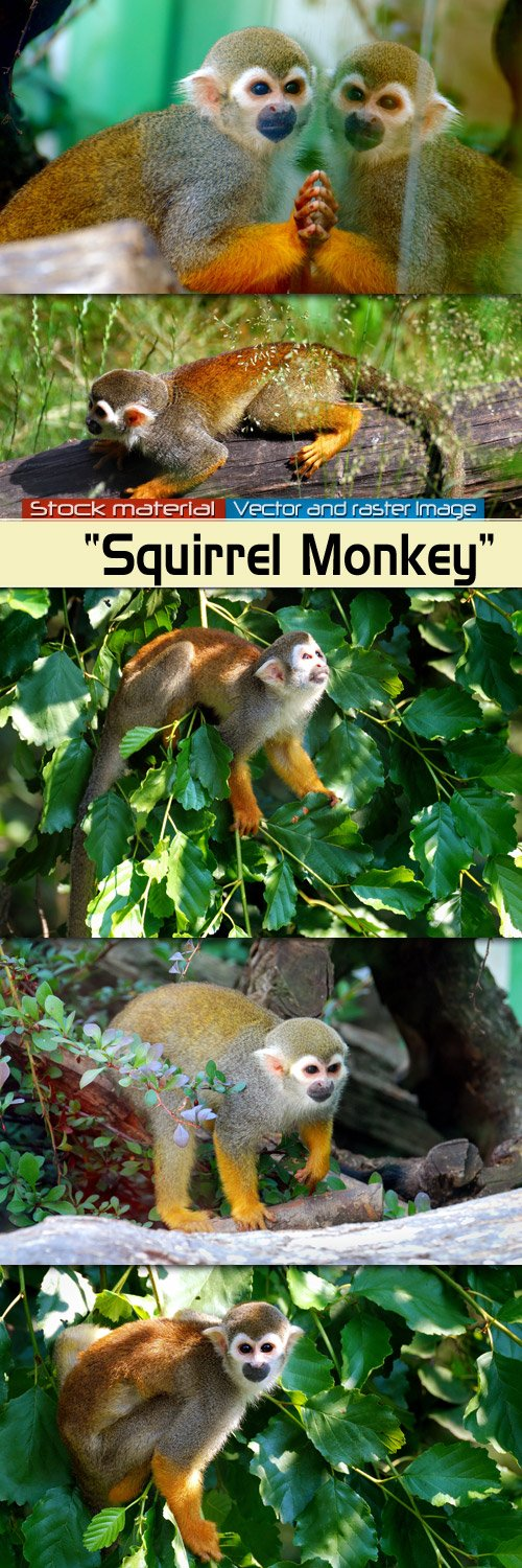 Monkey  Squirrel
