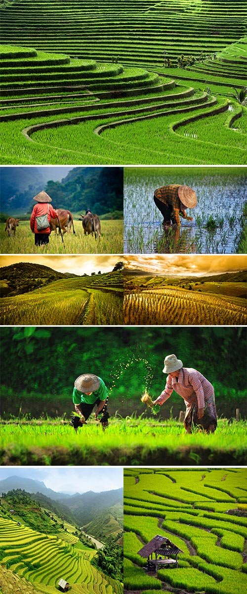 Stock Image Rice field