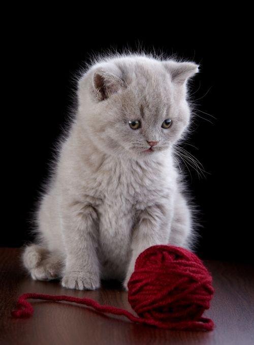 Nice kittens British