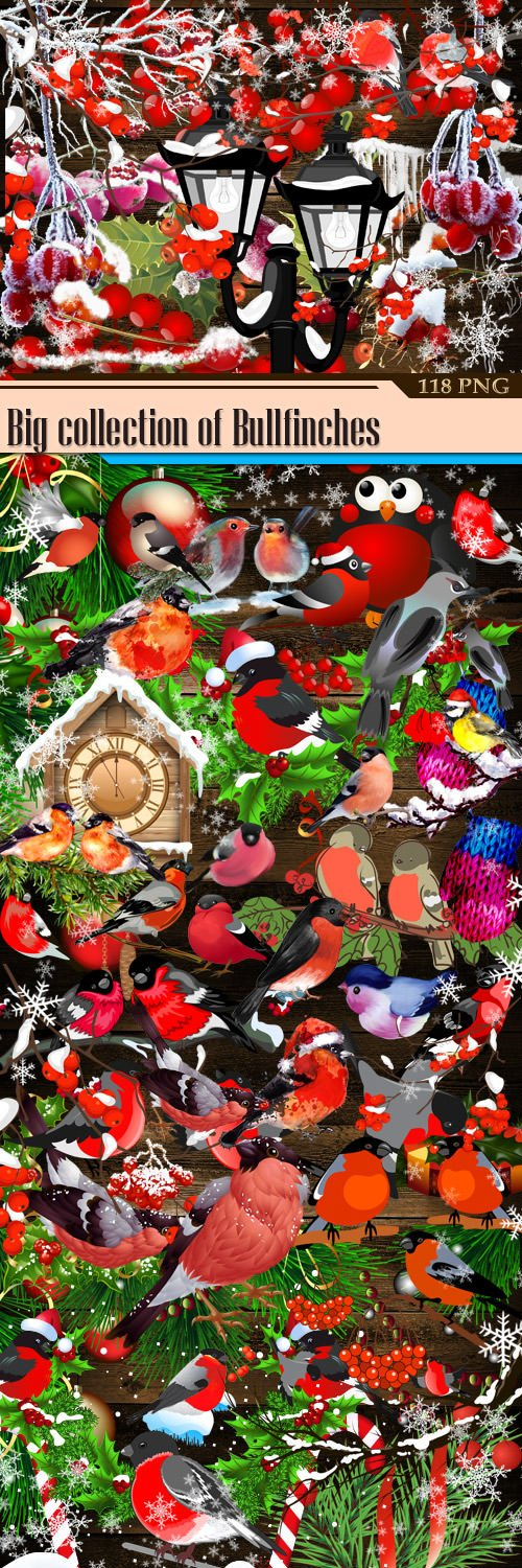Big collection of Bullfinches