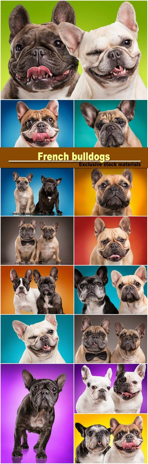 French bulldogs isolated over colored background