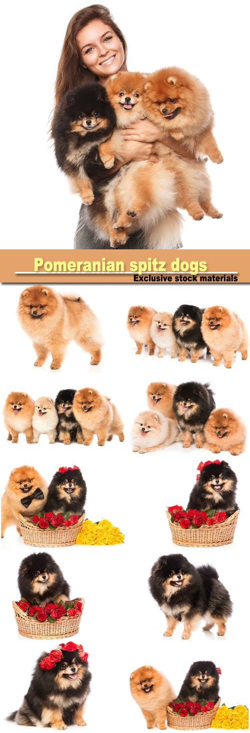 Group of pomeranian spitz dogs