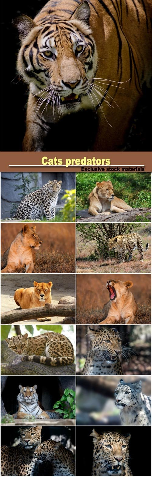 Cats predators, leopard, tiger and lion