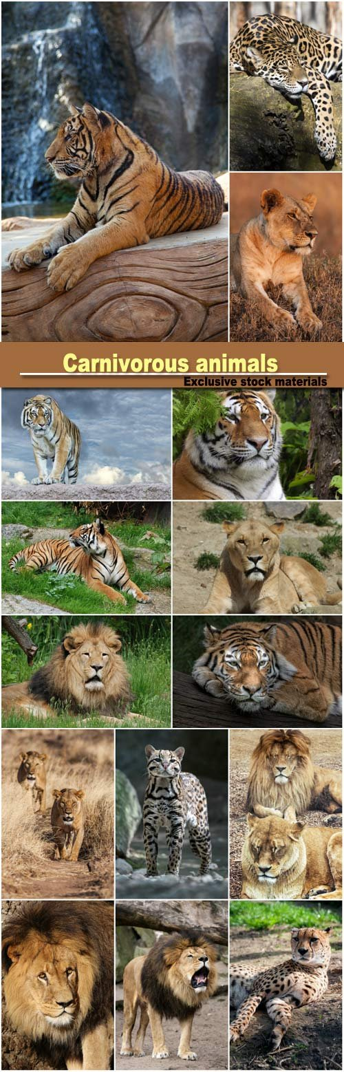 Carnivorous animals, leopard, lion, tiger