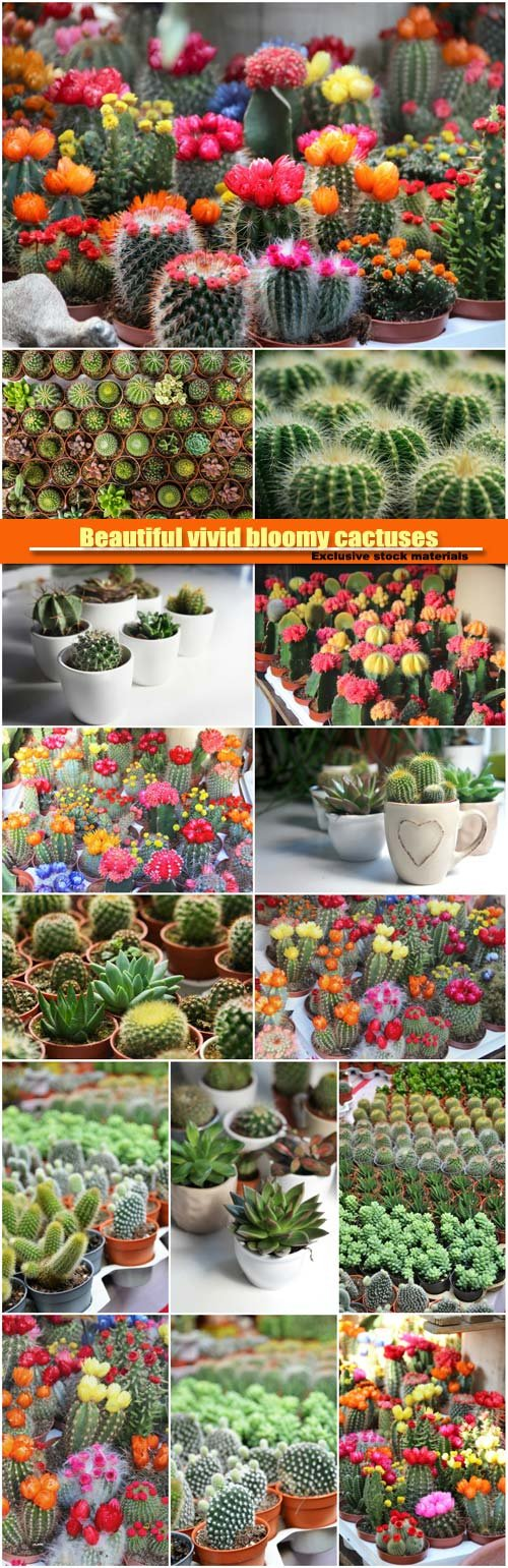 Beautiful vivid bloomy cactuses