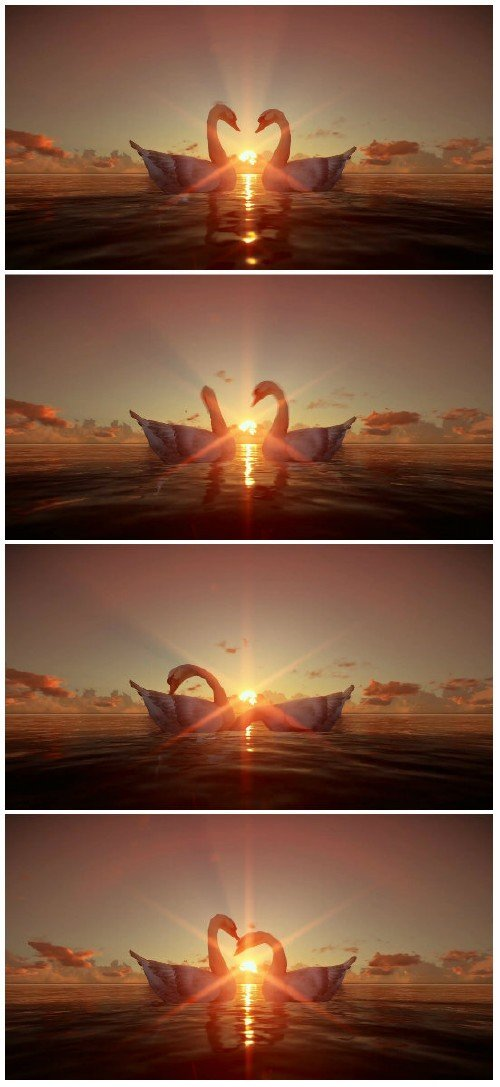 Video footage Swans on water at sunset HD
