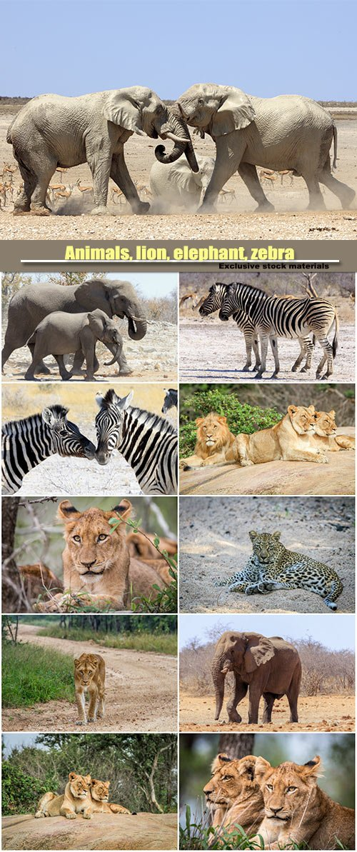 Animals, lion, elephant, zebra