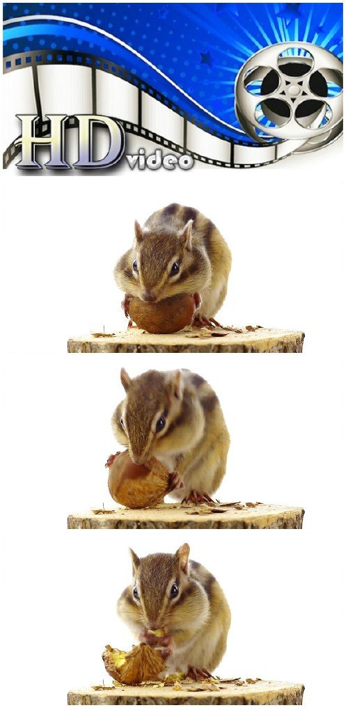 Video footage Chipmunk eating chestnuts on a tree stump