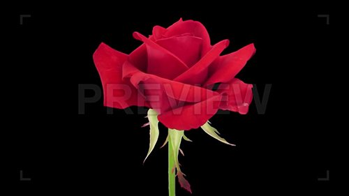 "MA - Opening of Red ""Kardinal"" Rose 62892"