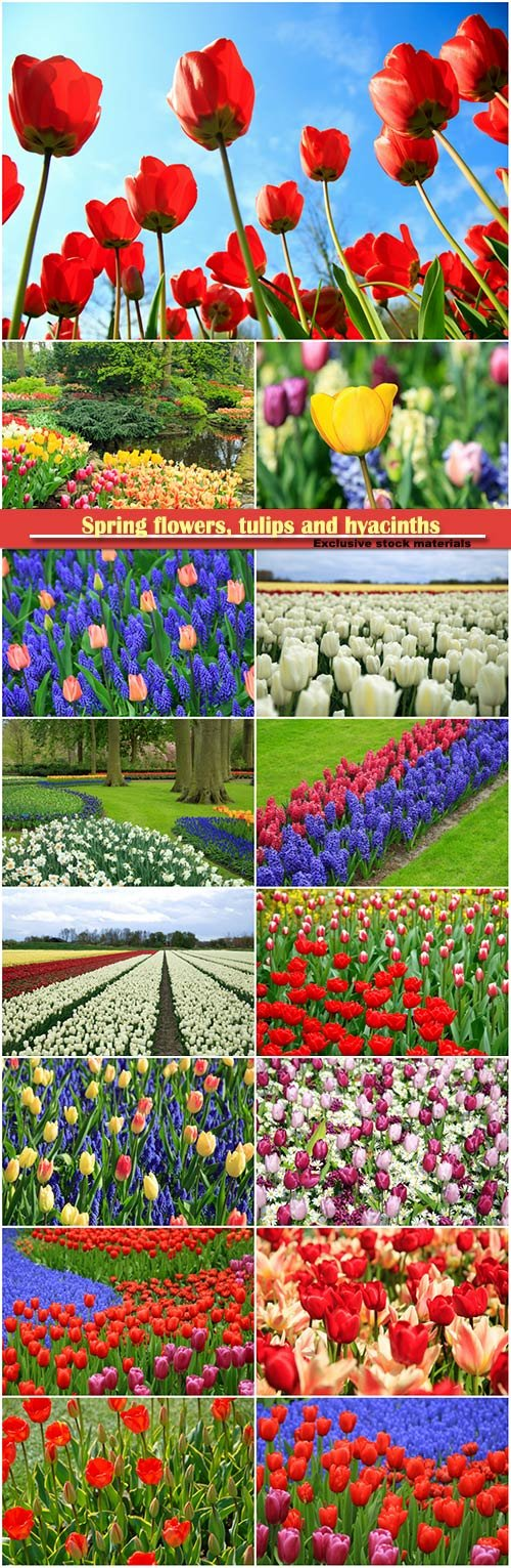 Spring flowers, tulips and hyacinths