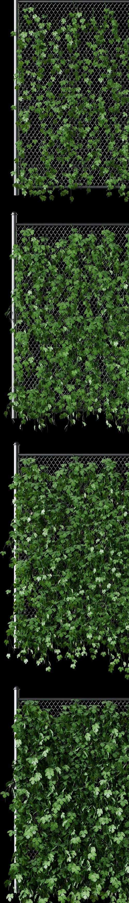 Leaves of hops on the fence net