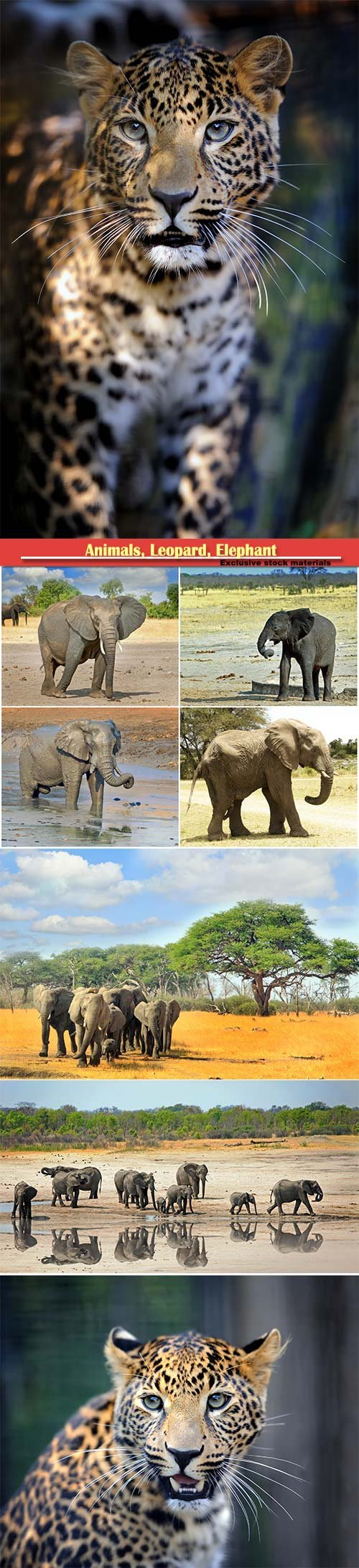 Animals, Leopard, Elephant