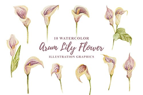 10 Watercolor Arum Lily Flower Illustration