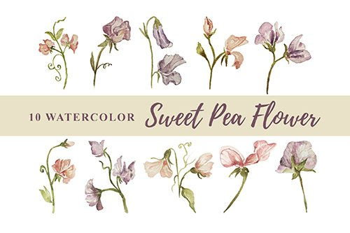 10 Watercolor Sweet Pea Flower Illustration