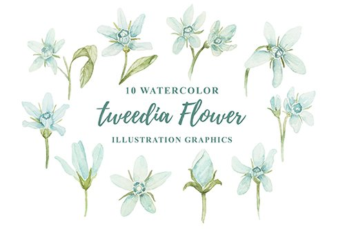 10 Watercolor Tweedia Flower Illustration Graphics