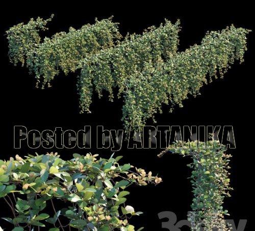 Trailing ivy 2 3d model