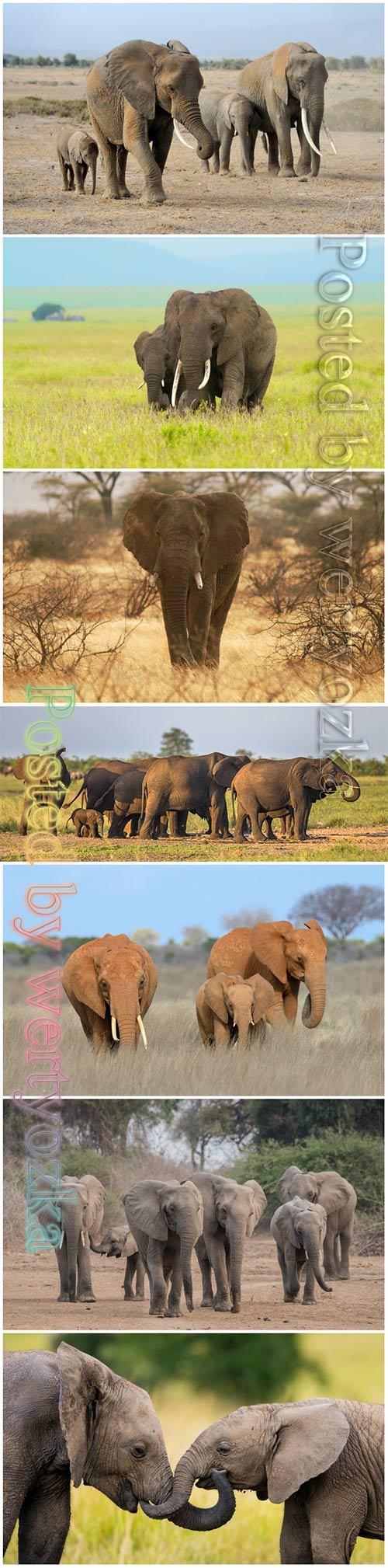 African elephants beautiful stock photo