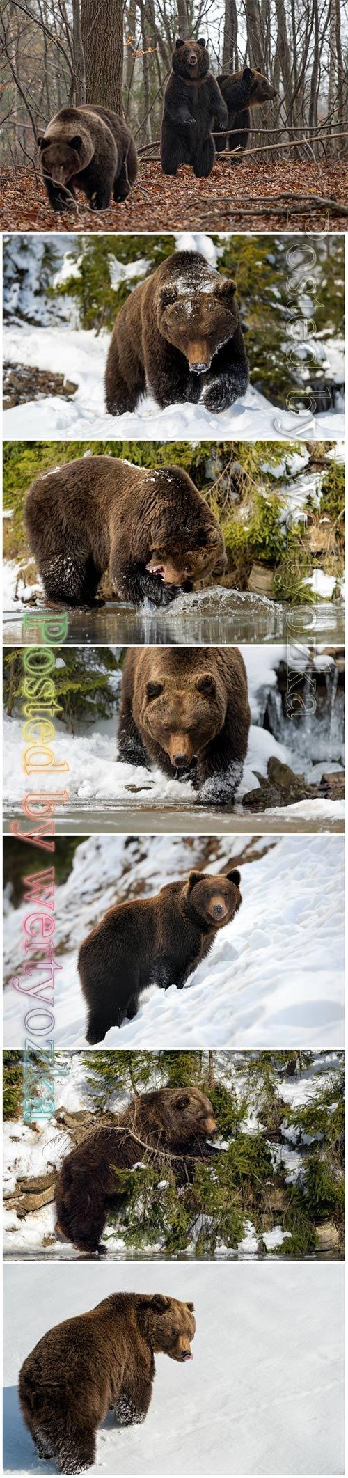 Wild brown bear beautiful stock photo