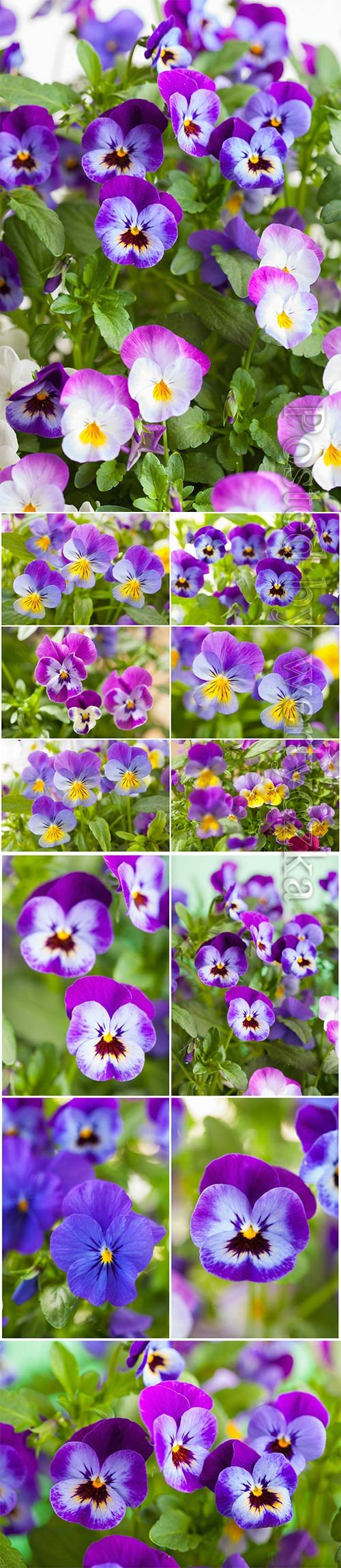 Beautiful pansy summer flowers stock photo