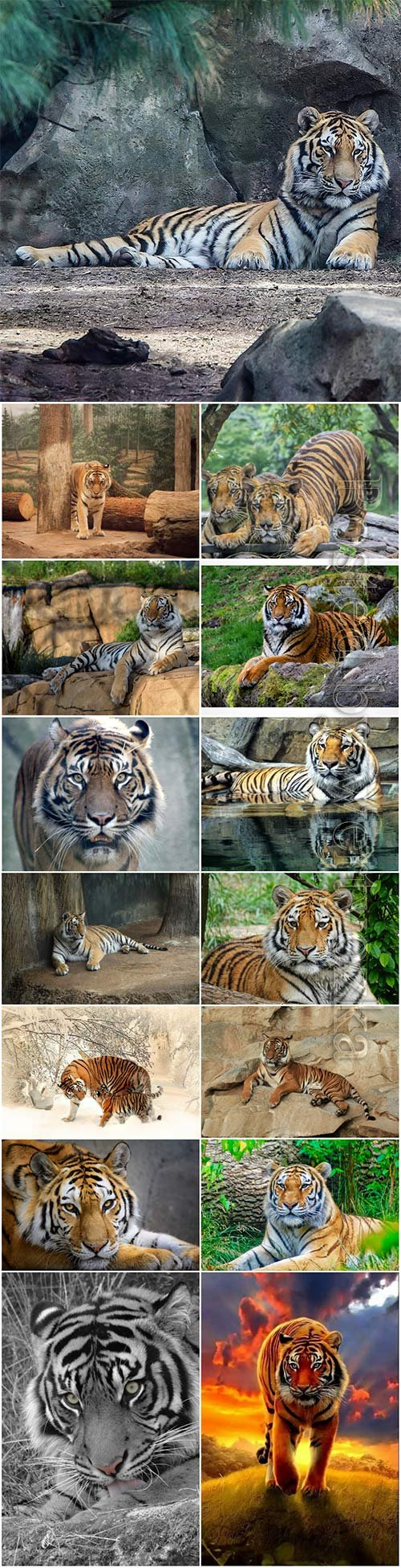 Tigers, predatory animals beautiful stock photo