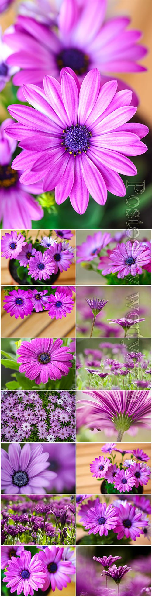 Lilac daisies beautiful stock photo