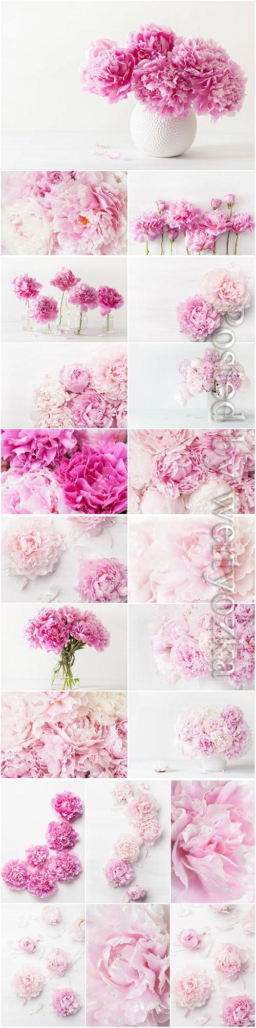 Beautiful peonies beautiful stock photo