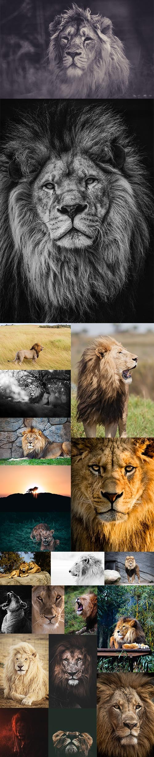 Lion - Premium UHQ Stock Photo Bundle
