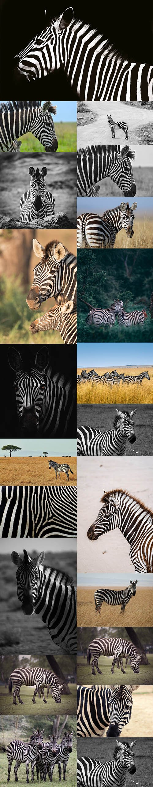 Zebra Bundle - UHQ Stock Photo