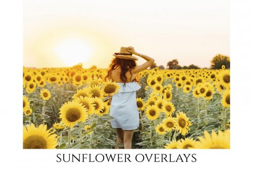 CreativeMarket - Sunflower Photoshop Overlays, PNGs 5264990